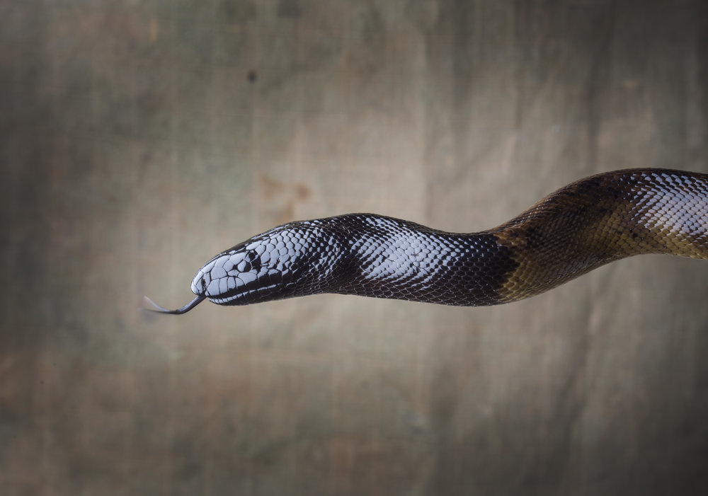 Black Headed Python,The Steve Irwin Wildlife Reserve. © Russell Shakespeare/Australia Zoo 2018