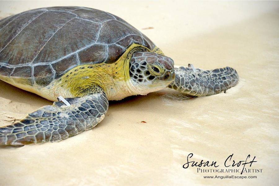 SUSAN CROFT PHOTOGRAPHY C2014 UNEP Winner Green Turtle Anguilla.jpg