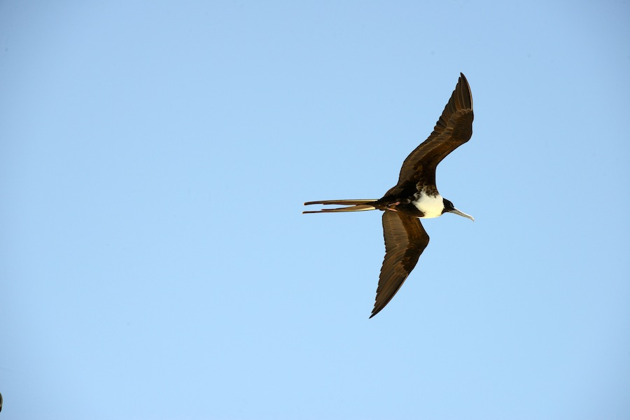 Susan Croft Photography Sandy Island Anguilla C2015 Frigate Bird.JPG