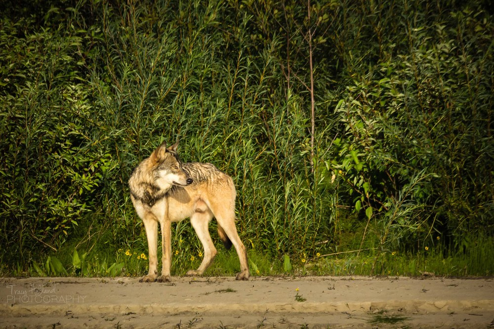 Wolf Prt 082214-9249.jpg