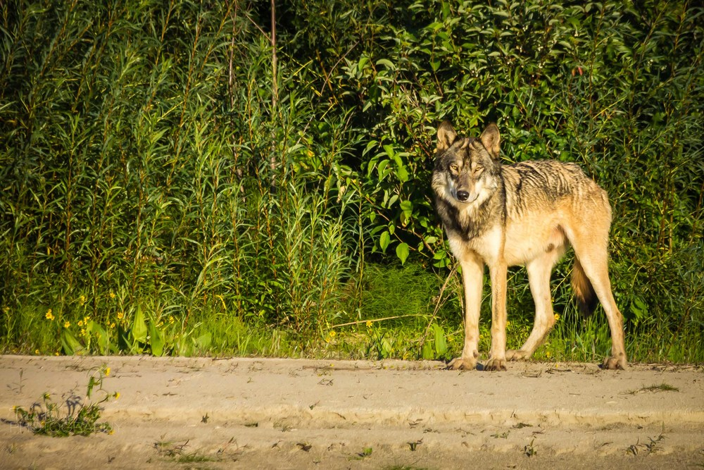 Wolf Prt 082214-9260.jpg