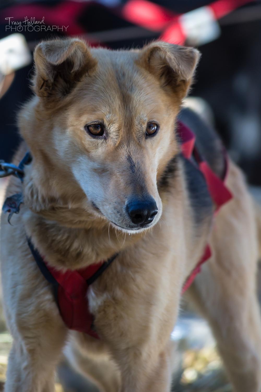140216 Sled Dogs-1083.jpg