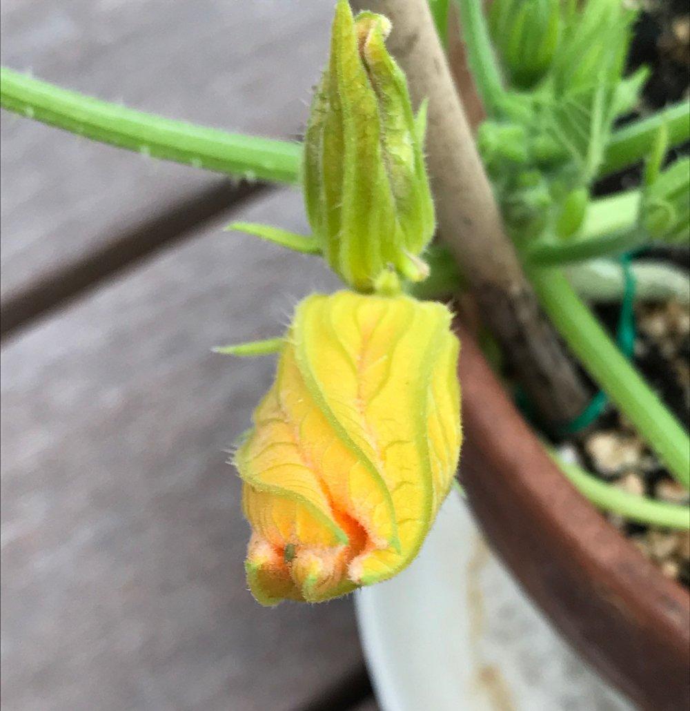 courgette flower 5.JPG