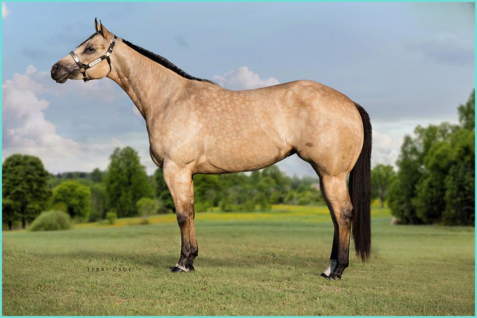 Buckskin halter horse