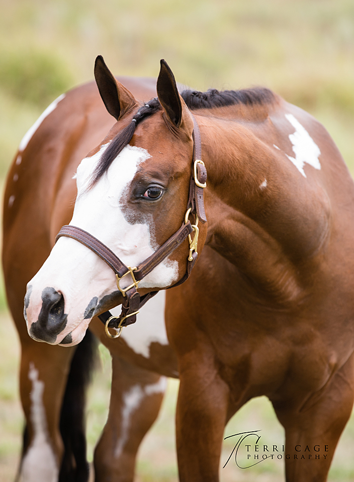 paint horse, apha, overo
