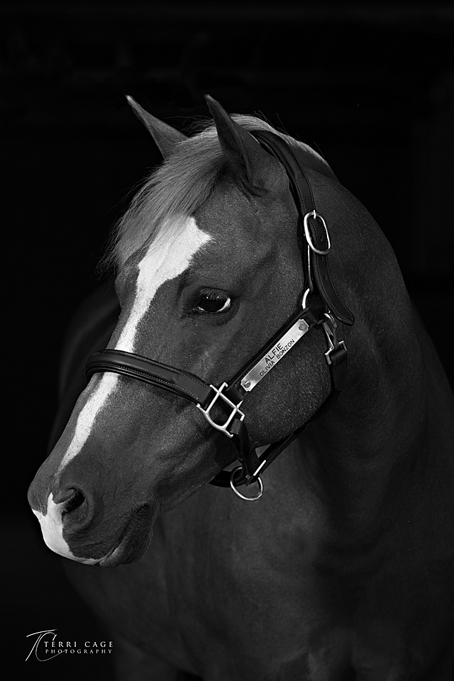 Equine fine art, equine portrait, headshot, welsh, pony