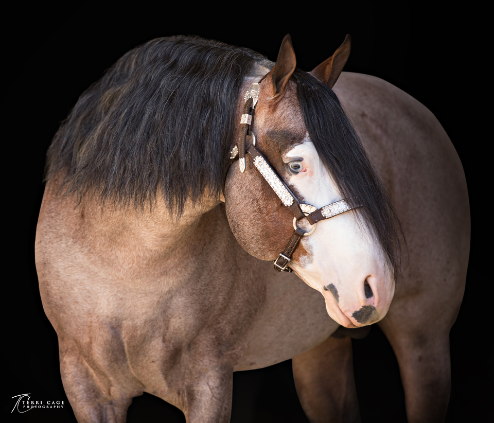 bay roan portrait