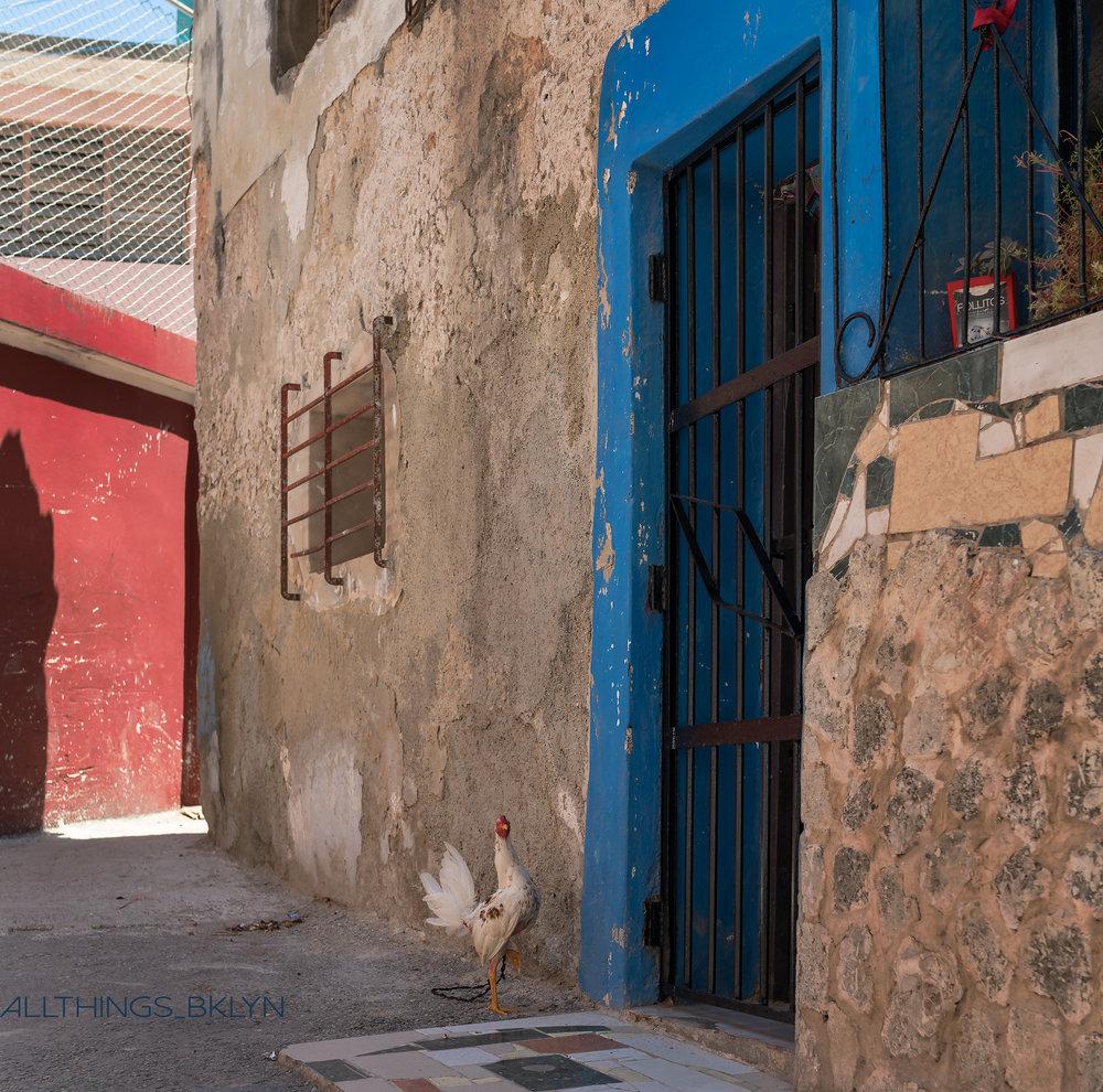 Chickens of Havana