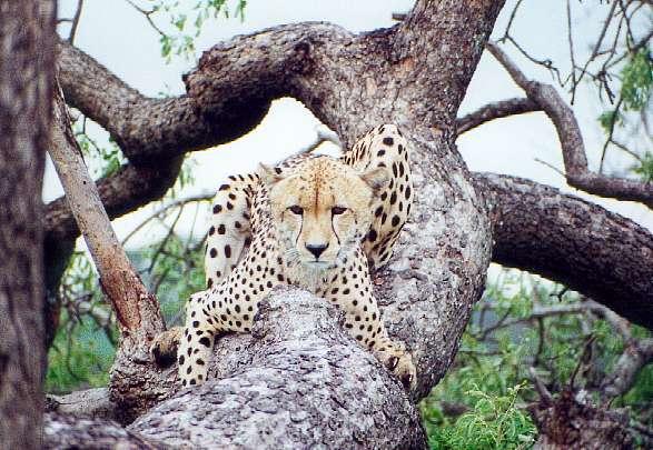 Cheetah on safari, South Africa