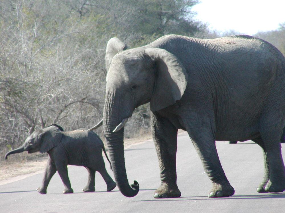 Be careful of elephants on safari