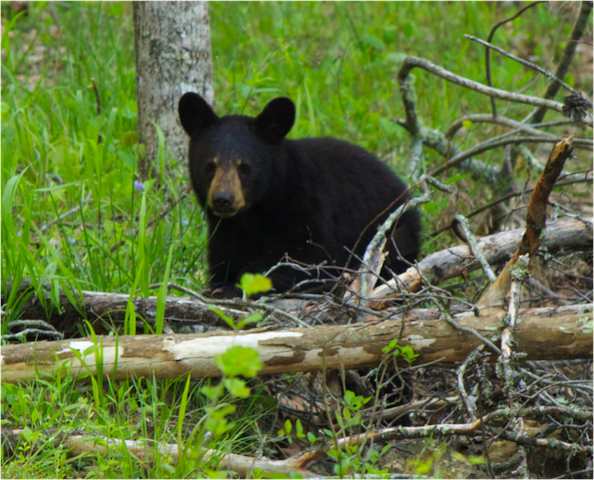 BEAR IN THE WILD BY A SOUTHERN GYPSY