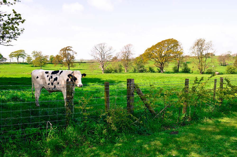 a cow by thurnham hall, lancaster, england