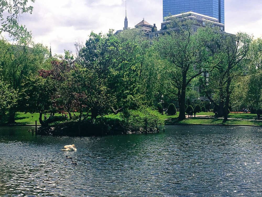 SWAN LAKE IN BOSTON PUBLIC GARDENS