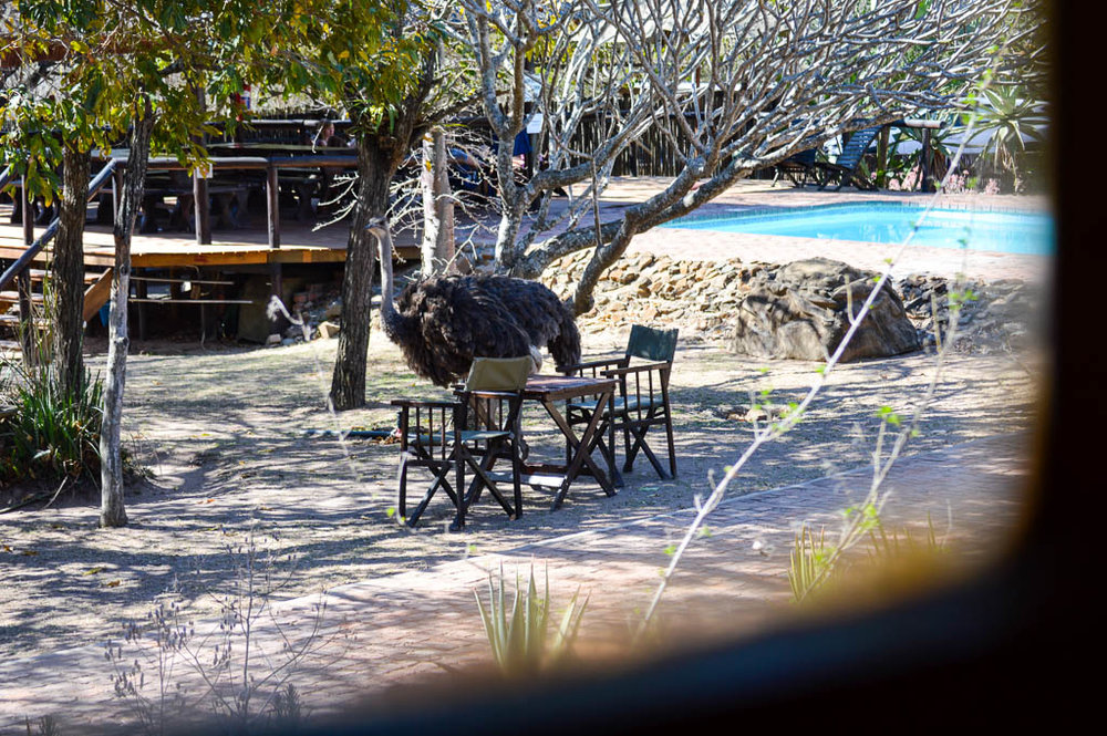 An ostrich wandering through Thornhill Safari Lodge