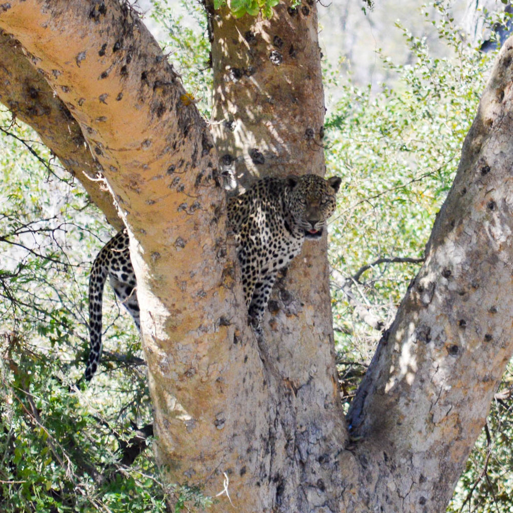 LEOPARD ON SAFARI IN KRUGER NATIONAL PARK