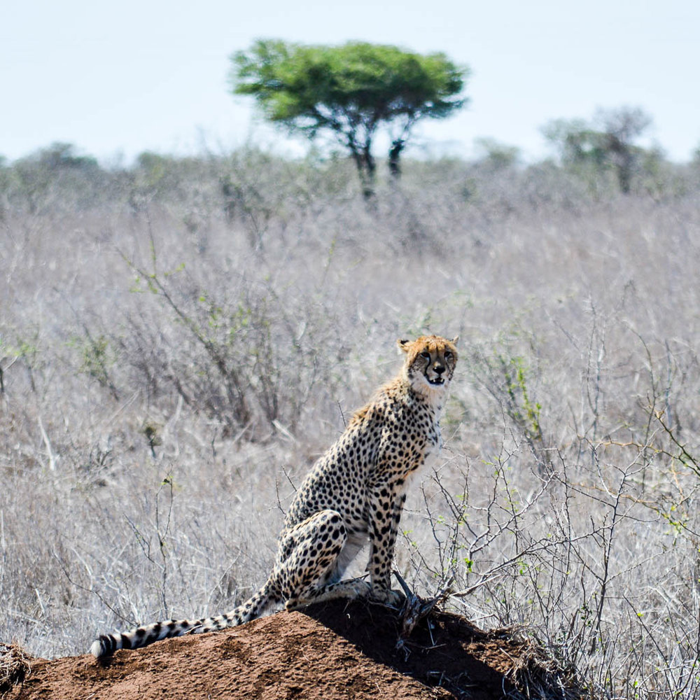 WATCHING CHEETAH IN THE KRUGER NATIONAL PARK