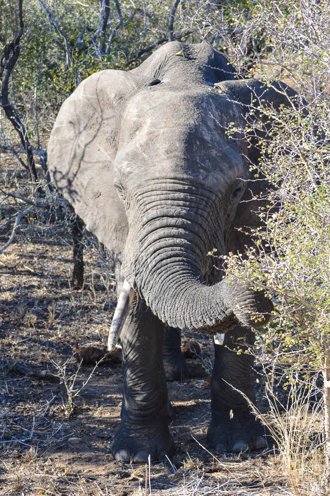 ELEPHANT ON SAFARI IN THE KRUGER NATIONAL PARK