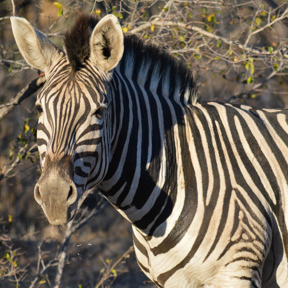 Zebra on safari in the Kruger National Park