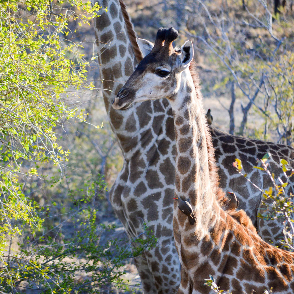 GIRAFFE ON SAFARI IN KRUGER NATIONAL PARK
