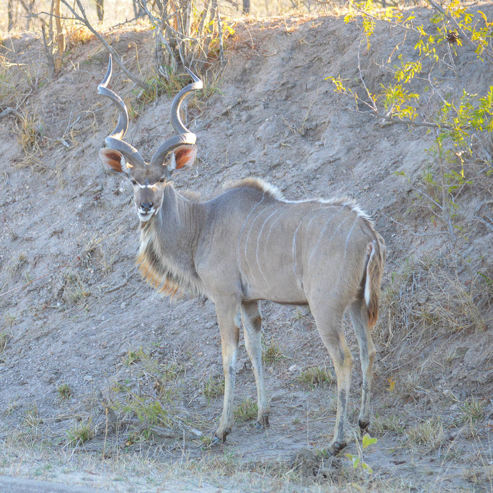 ANIMALS ON SAFARI IN THE KRUGER NATIONAL PARK