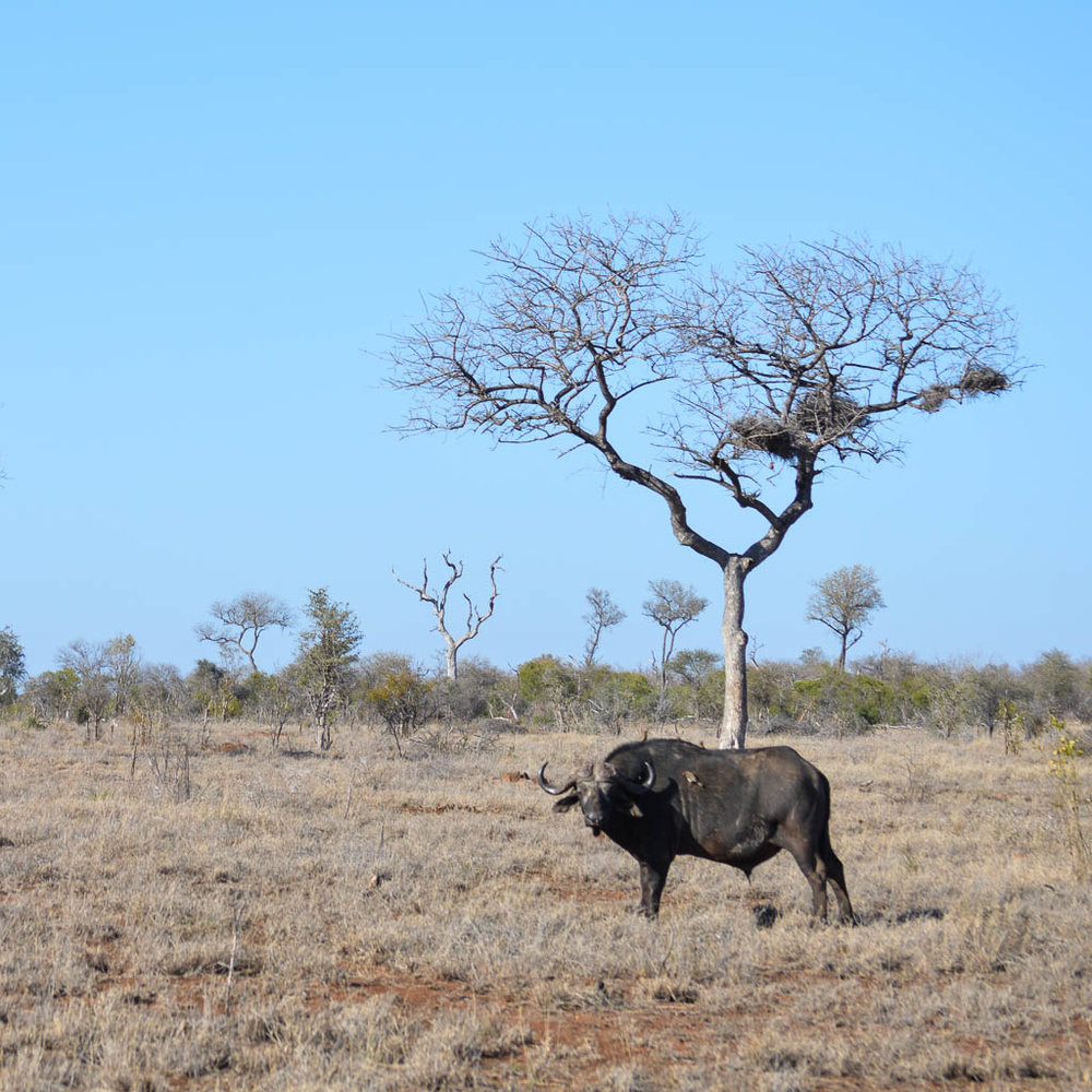 BUFFALO BIG FIVE IN KRUGER NATIONAL PARK