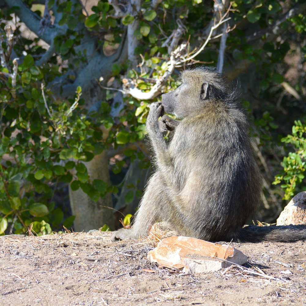 BABOON ON SAFARI IN KRUGER NATIONAL PARK