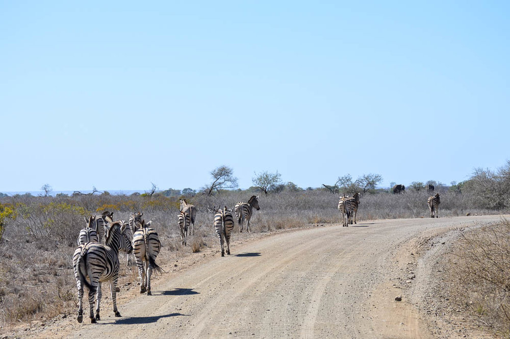 INTREPID TRAVEL SAFARI IN KRUGER REVIEW: ZEBRA