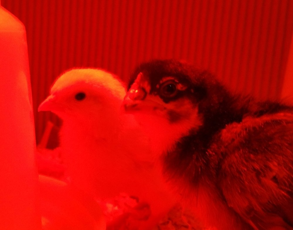 Basking in the warmth of the heat lamp