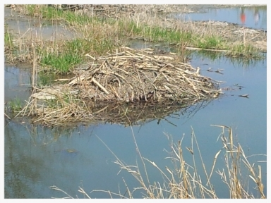 Rouge Hill Beaver Lodge