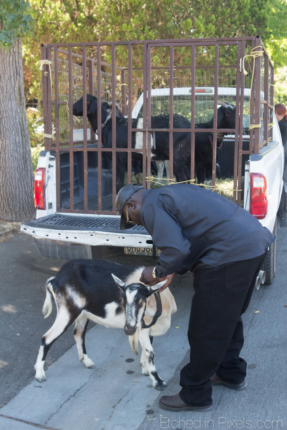 Man unloading goats from the back of a truck