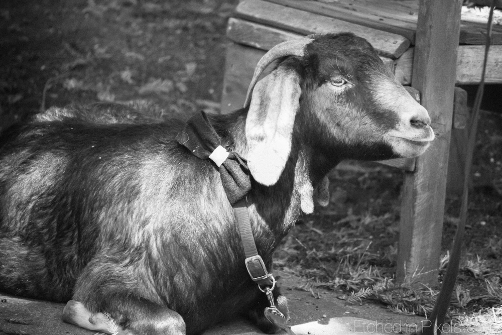 Goat lying down with leash and bow tie.