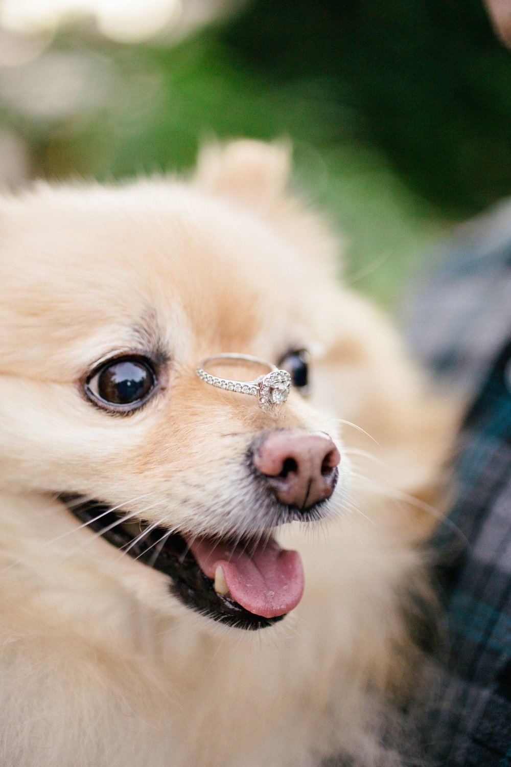 pomeranian with engagement ring