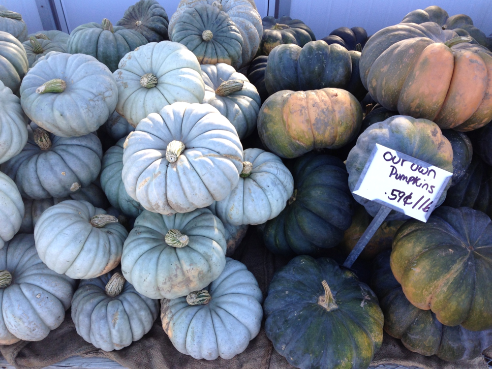 {Awesome greyish green pumpkins at Verrill Farm}