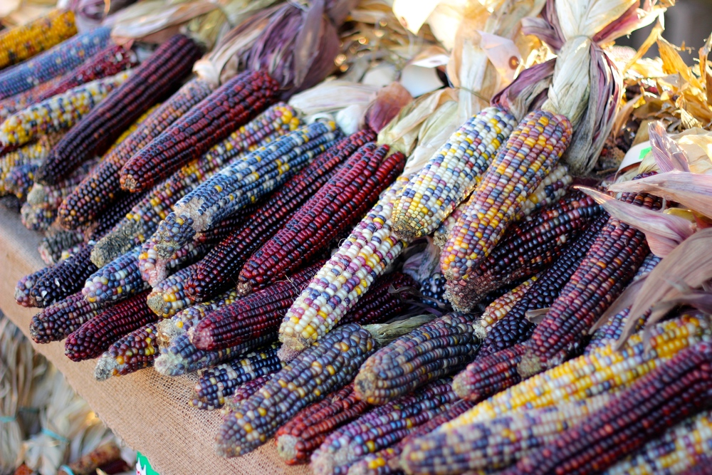 {Beautiful dried flint corn at a local farmstand}