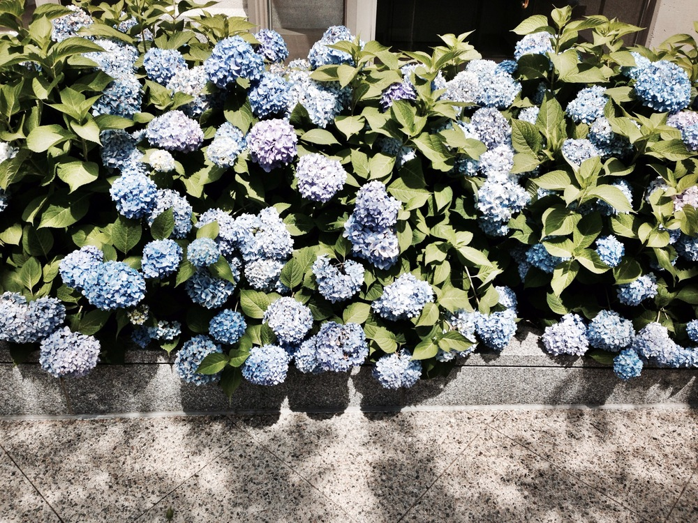 {Hydrangeas on Newbury St. are looking good}