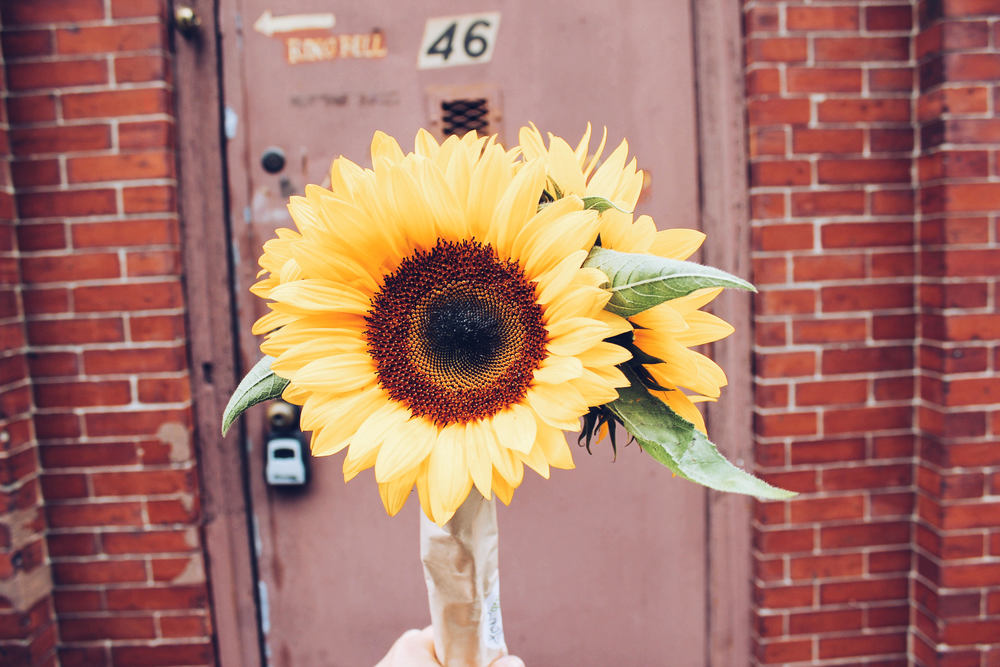 {Some fresh and sunny sunflowers from the farmers market}
