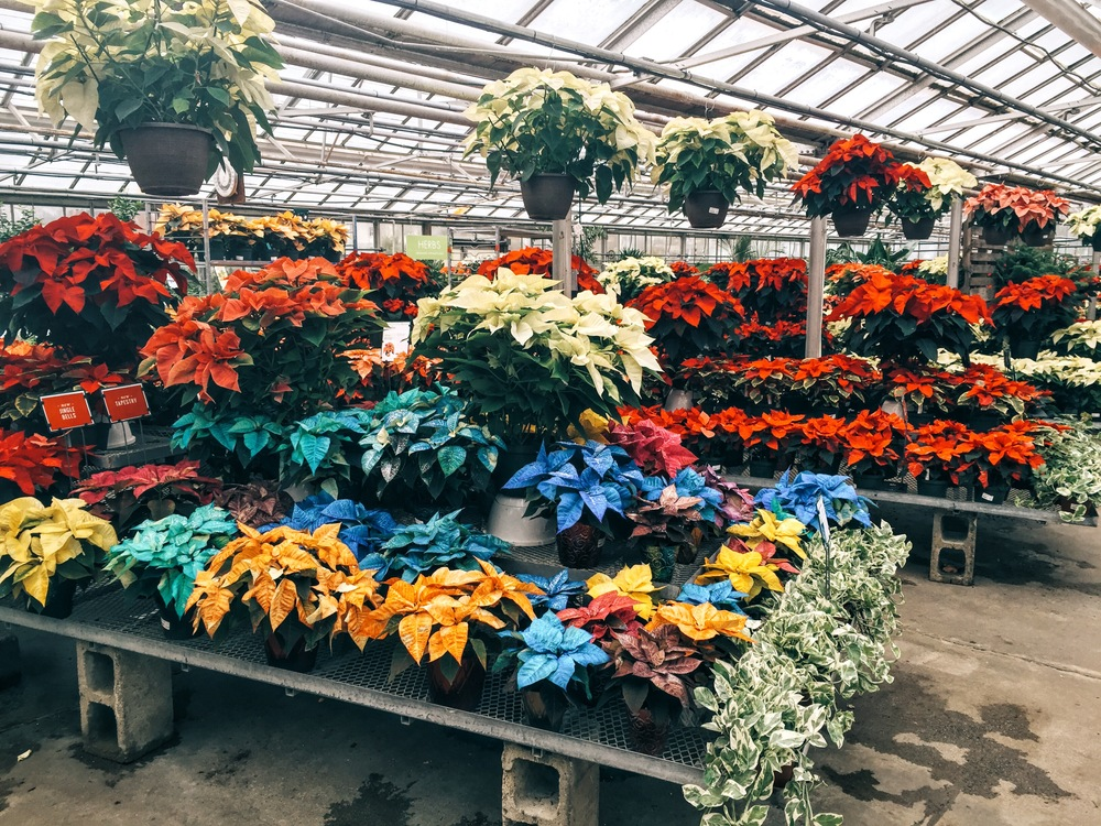 {Some technicolor poinsettias at  Mahoney's Garden Center }