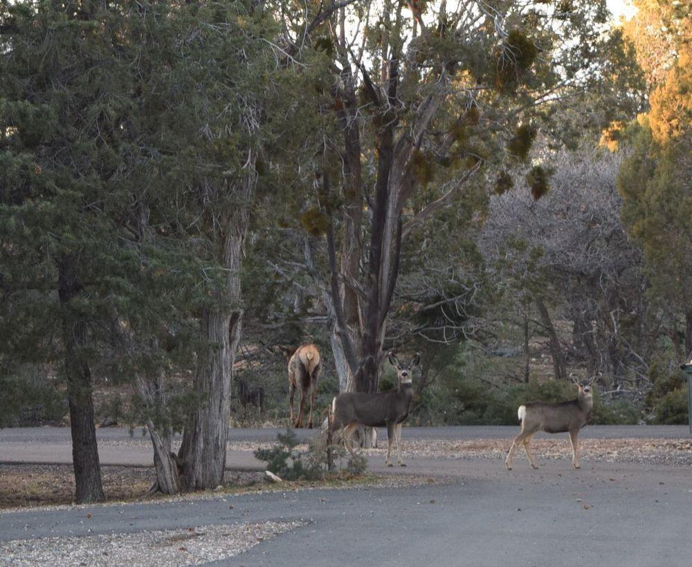 A couple ofmule deer and an elks ass.