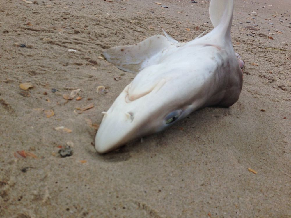 A dead shark on the beach. Just a little guy, but I've never seen one this close.