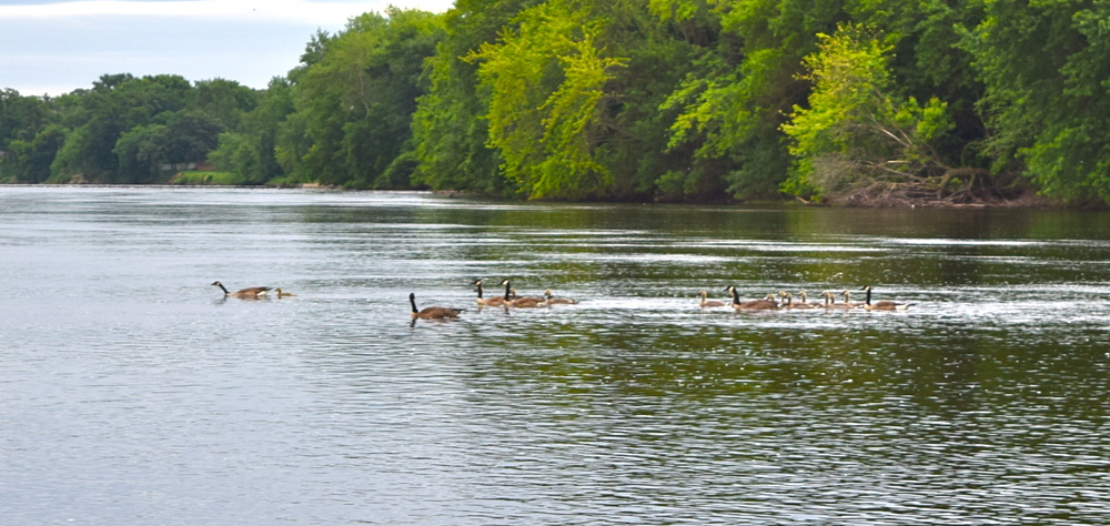 A family of geese on the Mississippi.