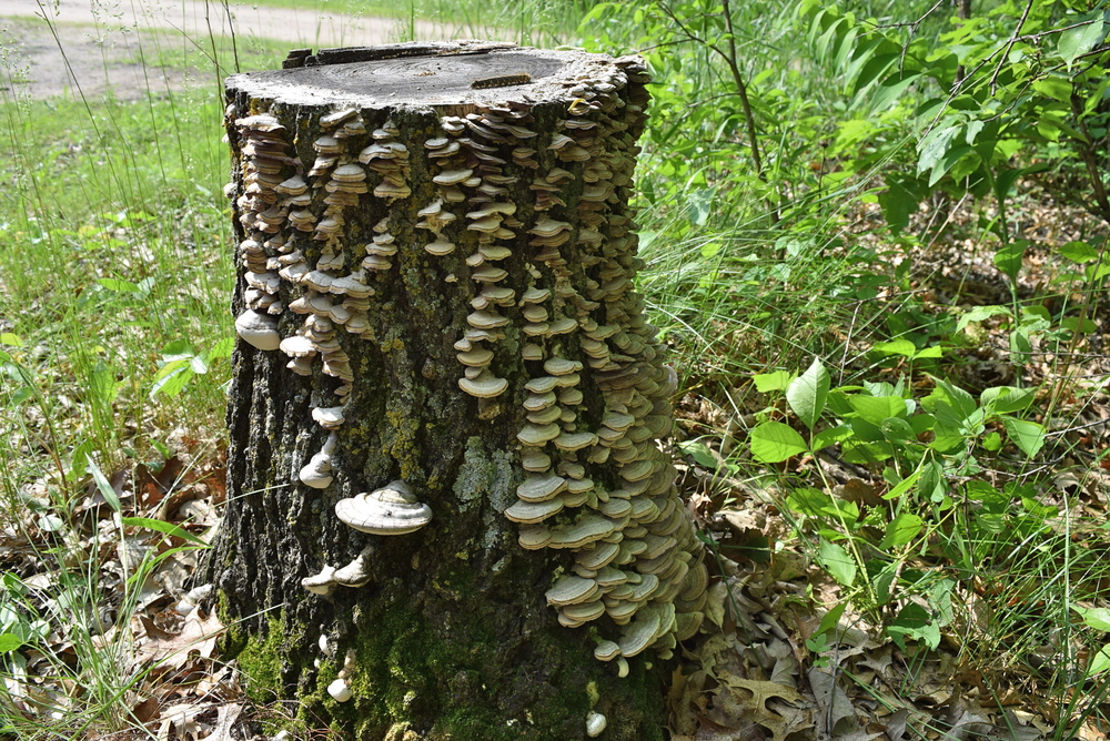 A mushroom covered log in our rustic campsite.