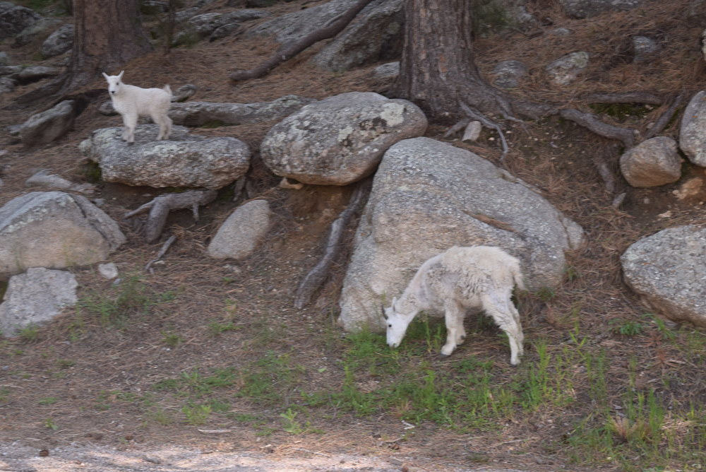 Baby mountain goats in the Black Hills.