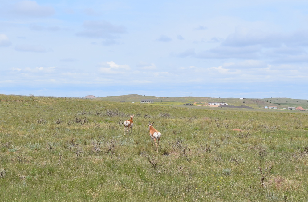 Antelope asses. WY