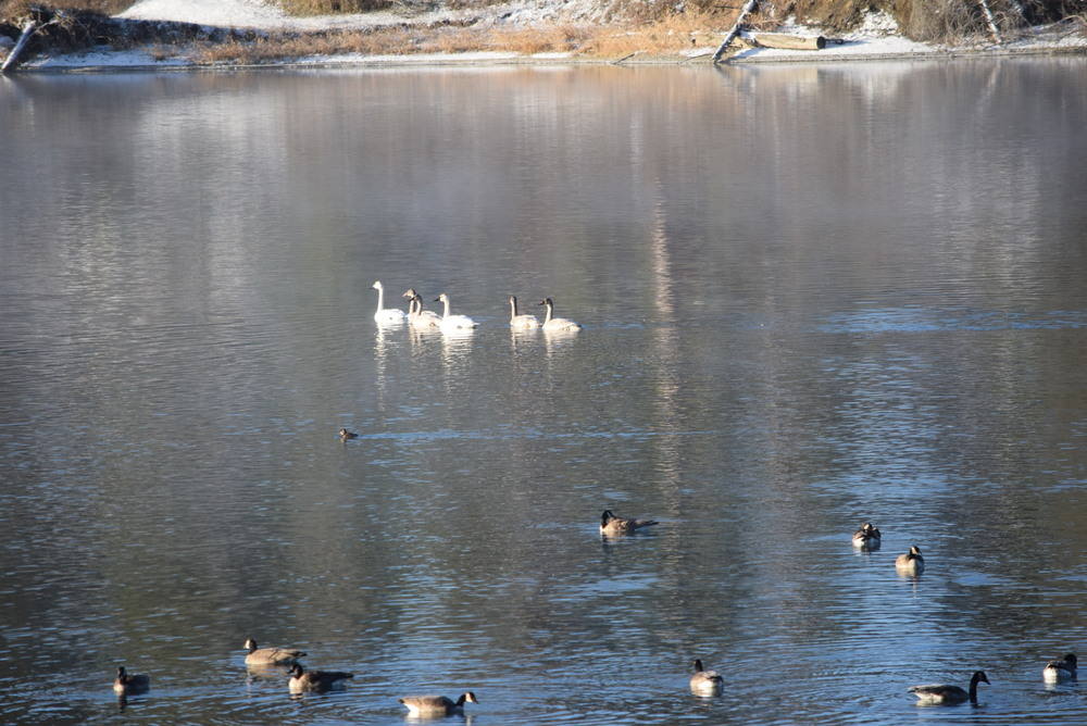 Tundra swans and geese.