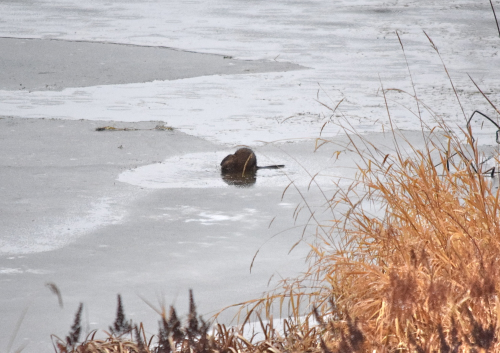 A beaver chilling on the ice.