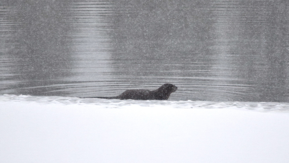 We've only seen this river otter a couple of times.