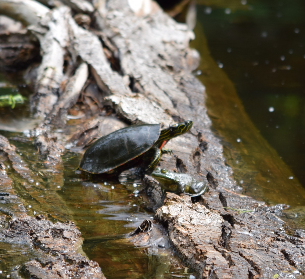 Turtle and frog, just hanging out on a log in the pond.