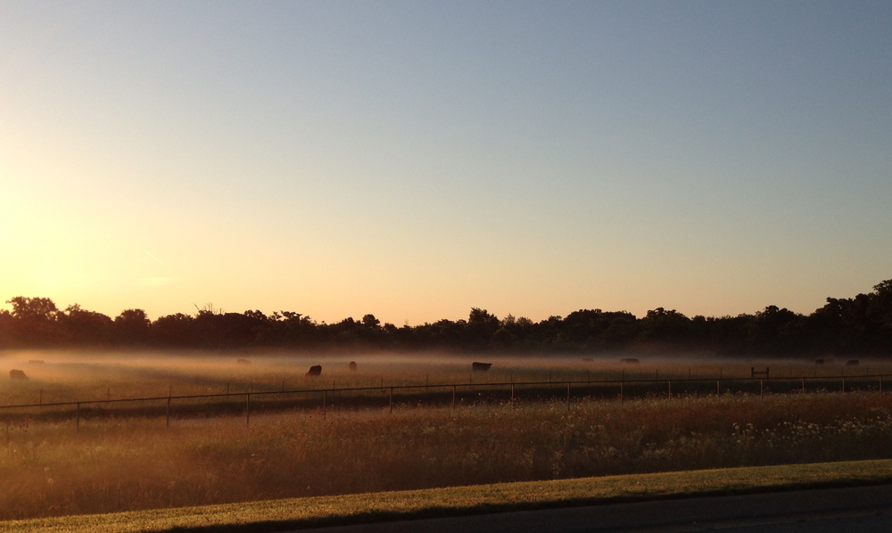 Cows in the mist, on my way to the NW Arkansas airport.