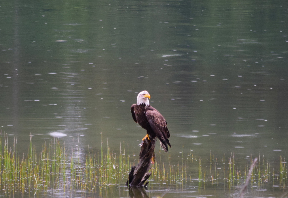 I think he's looking around to see if anyone is going to challenge him for the fish in his talons.
