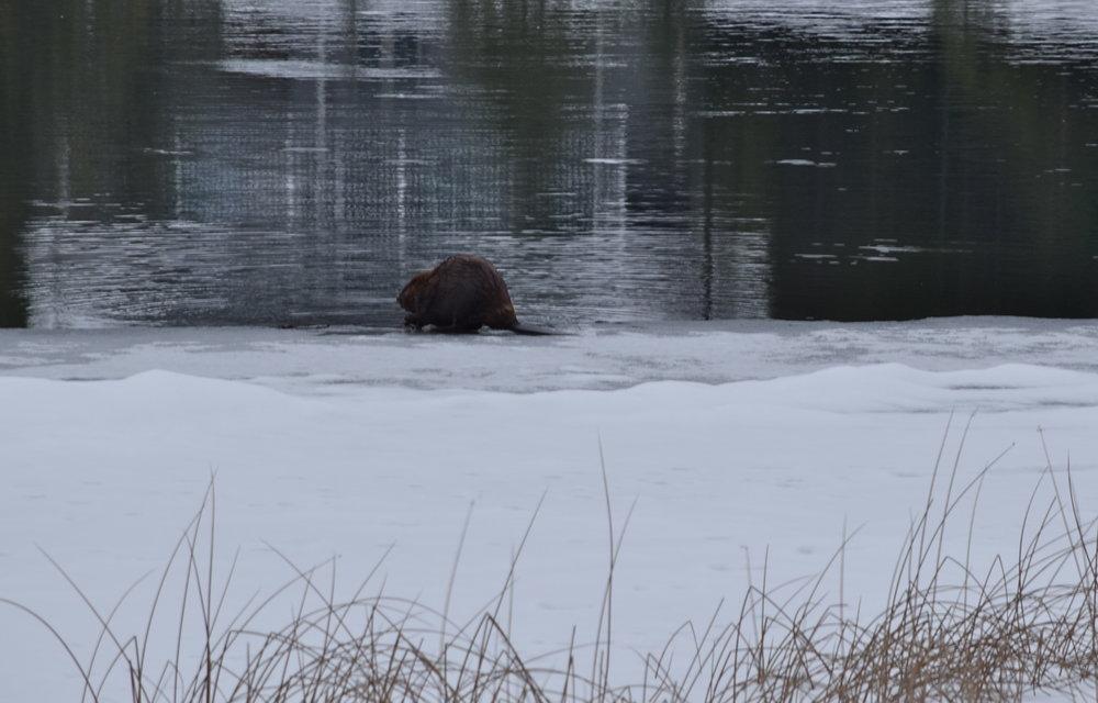 Big beaver!